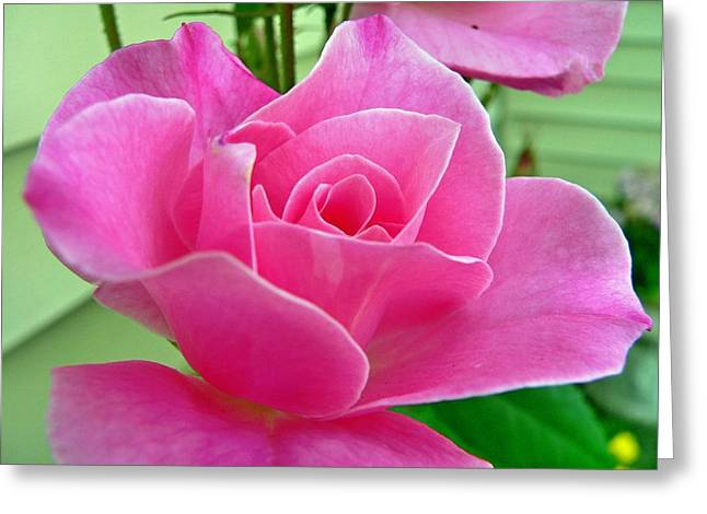 p1050202b  Pink Rose Greeting Card by Ed Immar