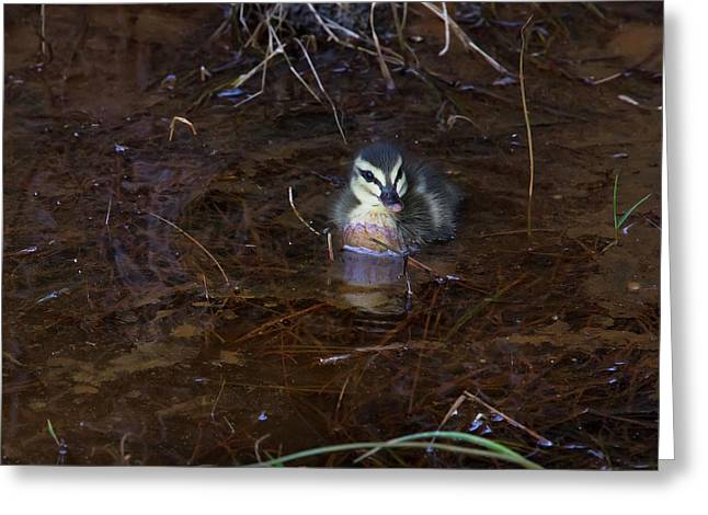 Greeting Card featuring the photograph Pacific Black Duckling by Miroslava Jurcik