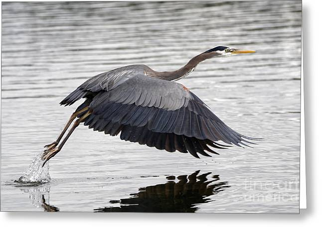 Pacific Great Blue Heron On Lift Off Greeting Card