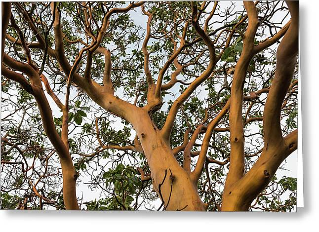 Pacific Madrone Trees Greeting Card