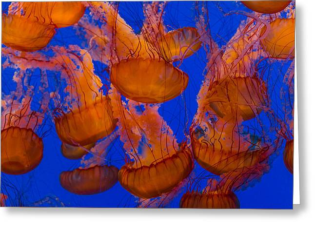 Pacific Sea Nettle Cluster 1 Greeting Card by Scott Campbell