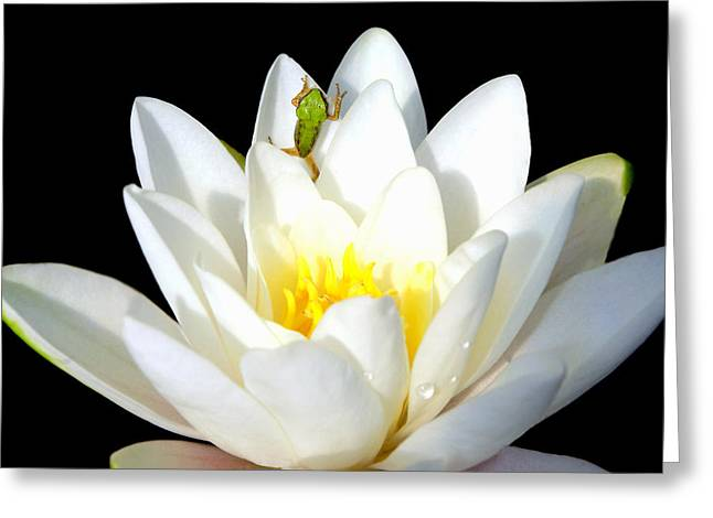 Pacific Tree Frog On The Verge Of Jumping Greeting Card by Debra Orlean