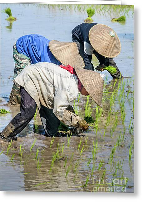 Paddy Field 2 Greeting Card by Werner Padarin