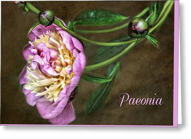 Paeonia Greeting Card Greeting Card by CJ Anderson