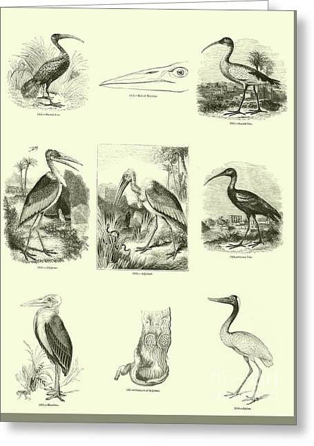 Page From The Pictorial Museum Of Animated Nature  Greeting Card by English School