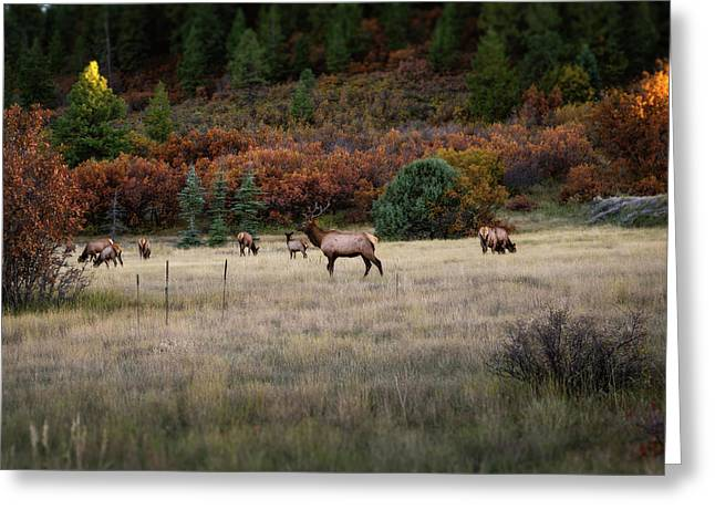 Greeting Card featuring the photograph Pagosa Autumn Elk by Jason Coward