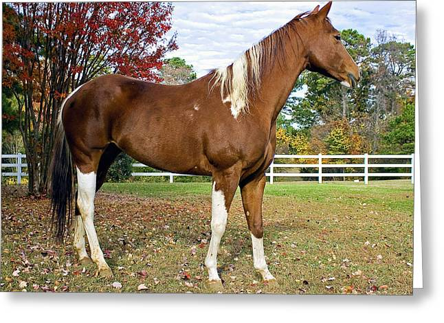 Paint Horse Greeting Card by Alan Raasch