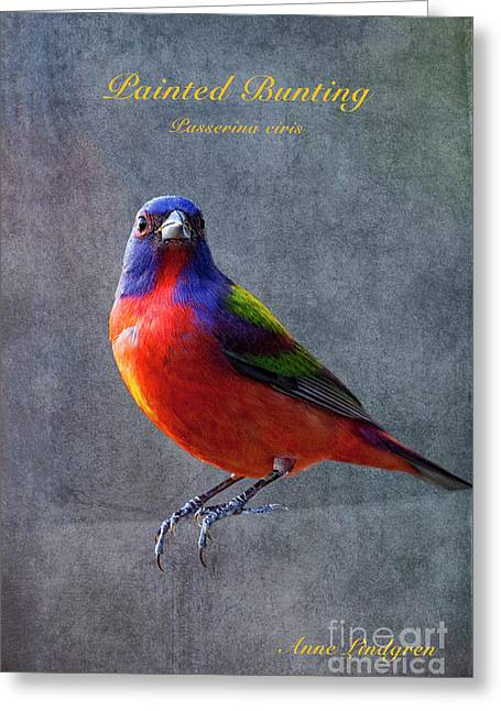 Painted Bunting Greeting Card by Anne Lindgren