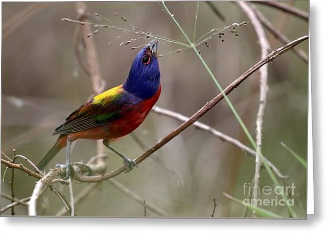 Painted Bunting Bird Greeting Card