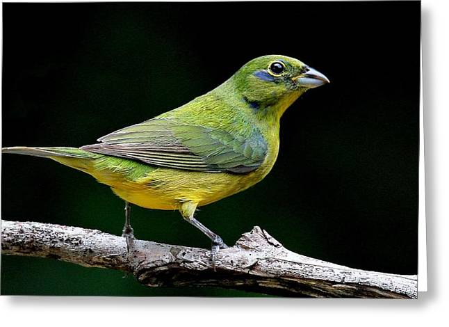 Painted Bunting - Second Year Male Greeting Card