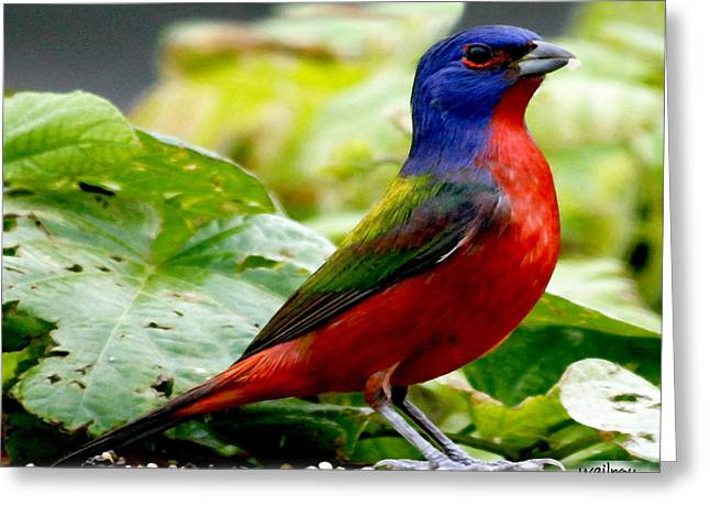 Painted Bunting Greeting Card by W Gilroy