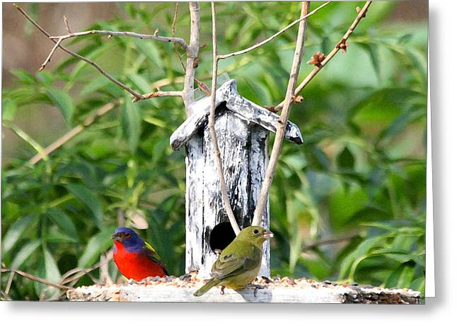Painted Buntings Greeting Card by W Gilroy