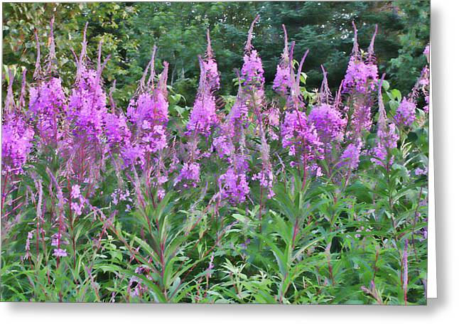 Painted Fireweed Greeting Card