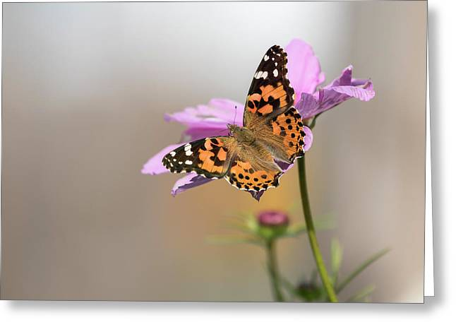 Painted Lady 2017-1 Greeting Card