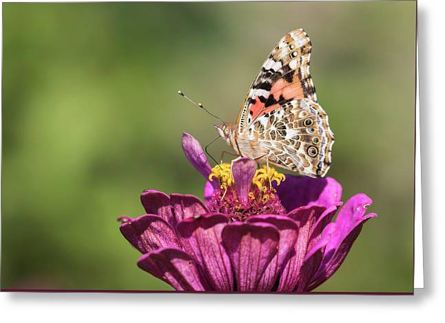 Painted Lady 2017-2 Greeting Card