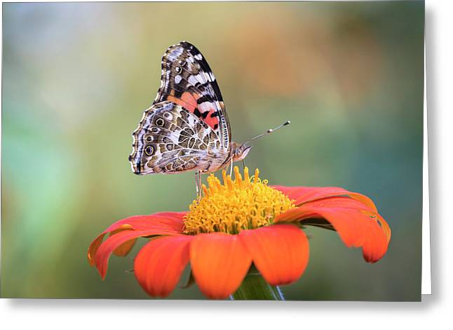 Painted Lady 2017-3 Greeting Card