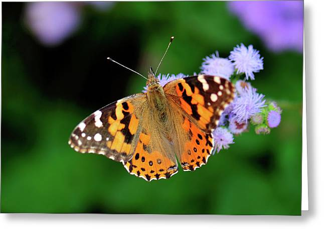 Painted Lady Greeting Card by Betty LaRue