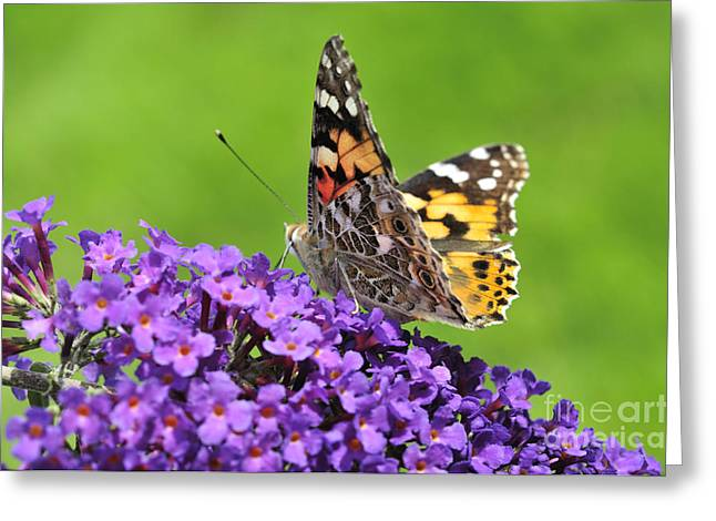 Painted Lady Butterfly On A Buddleia Greeting Card by Andy Smy