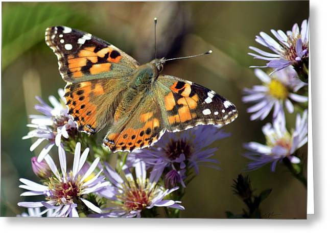 Painted Lady Butterfly On Asters Greeting Card