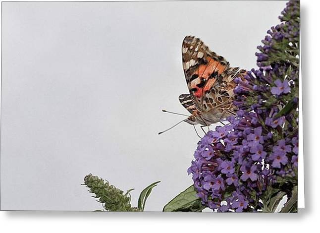 Painted Lady (vanessa Cardui) Greeting Card by John Edwards