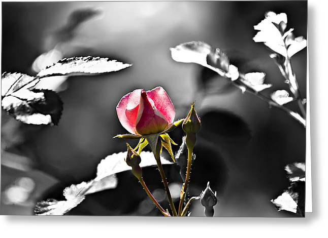 Painted Rosebud Greeting Card by Michael Whitaker