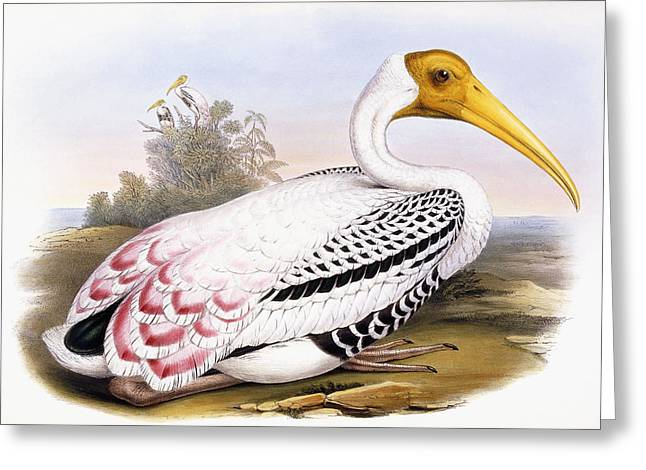 Painted Stork Greeting Card by John Gould