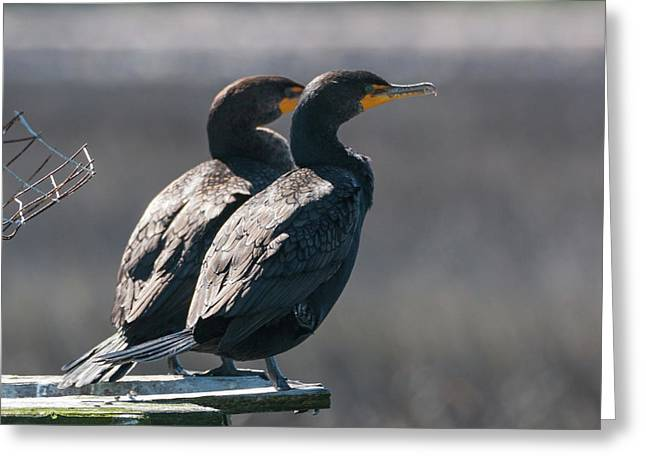 Pair Double-crested Cormorant 3 March 2018 Greeting Card