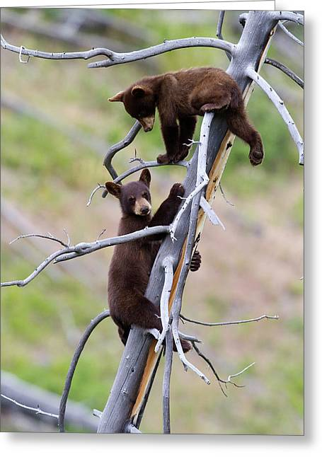 Pair Of Bear Cubs In A Tree Greeting Card