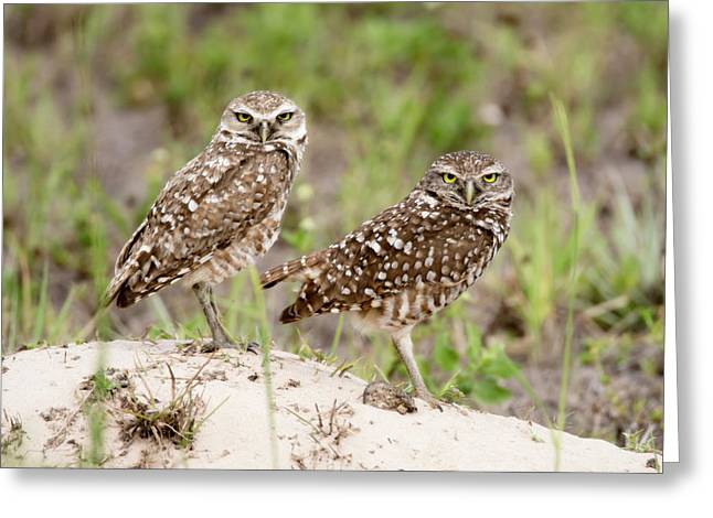 Pair Of Burrowing Owls Greeting Card