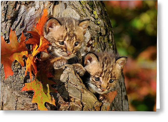 Pair Of Cautious Bobcat Kittens Peeking Out From The Hollow Of A Greeting Card by Reimar Gaertner