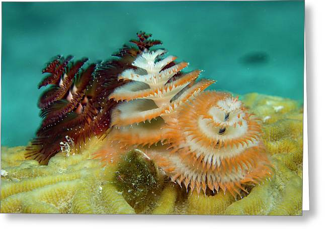 Greeting Card featuring the photograph Pair Of Christmas Tree Worms by Jean Noren