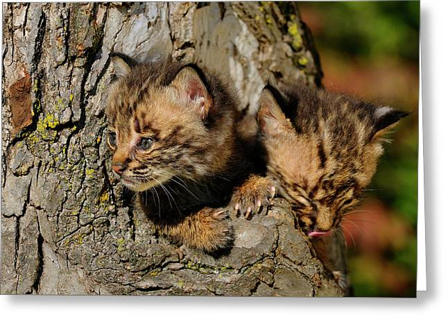 Pair Of Curious Bobcat Kittens Peeking Out From The Hollow Of A  Greeting Card by Reimar Gaertner