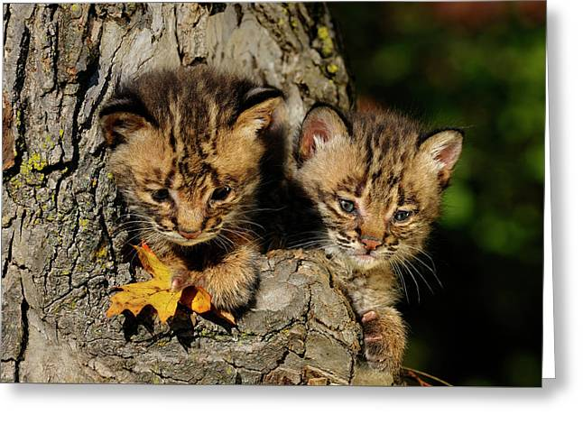 Pair Of Cute Bobcat Kittens Peeking Out From The Hollow Of A Tre Greeting Card by Reimar Gaertner