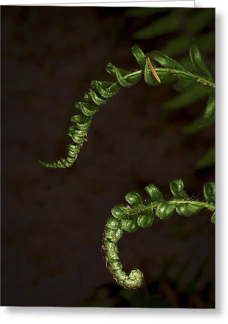 Pair Of Ferns Greeting Card by Jean Noren