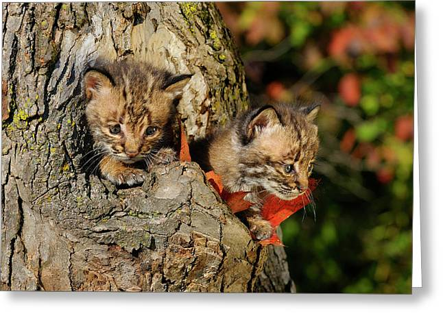 Pair Of Frightened Bobcat Kittens Peeking Out From The Hollow Of Greeting Card by Reimar Gaertner