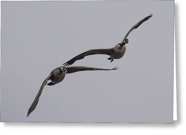 Pair Of Geese Greeting Card by Paul Freidlund