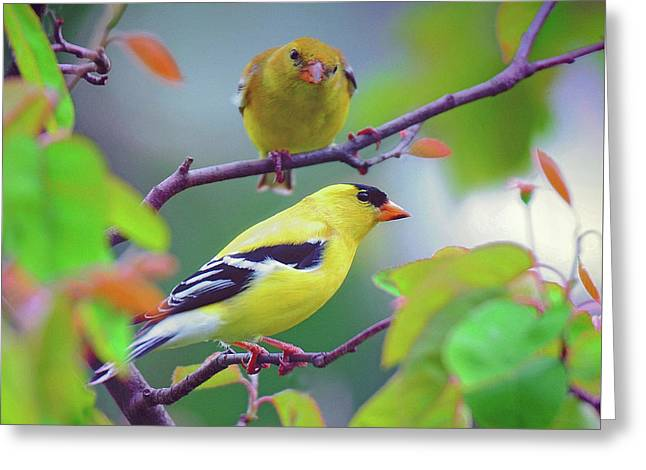 Pair Of Goldfinches Greeting Card