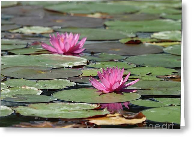 Pair Of Pink Pond Lilies Greeting Card