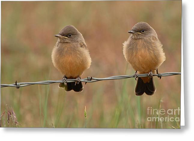 Pair Of Say's Phoebe Fledglings On Barbed Wire Fence Greeting Card