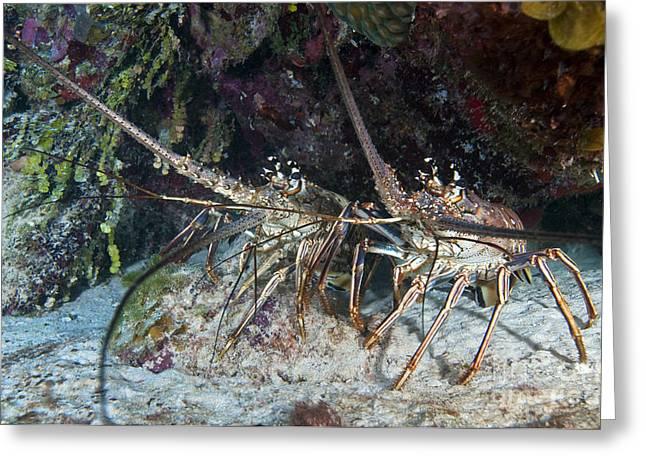 Pair Of Spiny Caribbean Lobsters Greeting Card by Karen Doody
