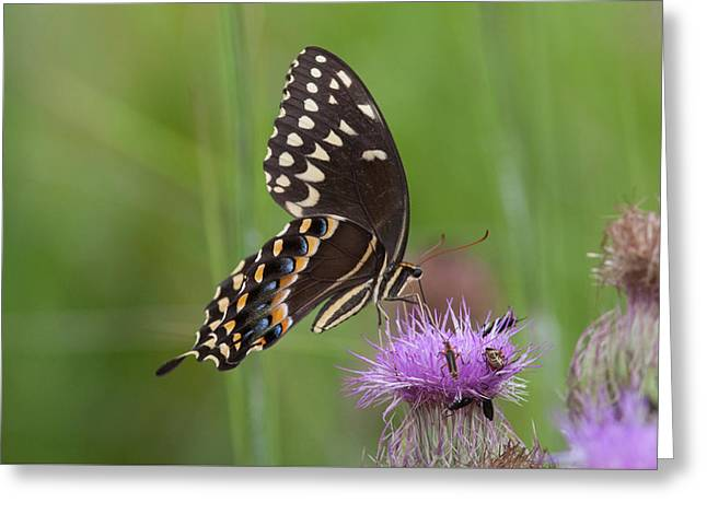 Palamedes Swallowtail And Friends Greeting Card