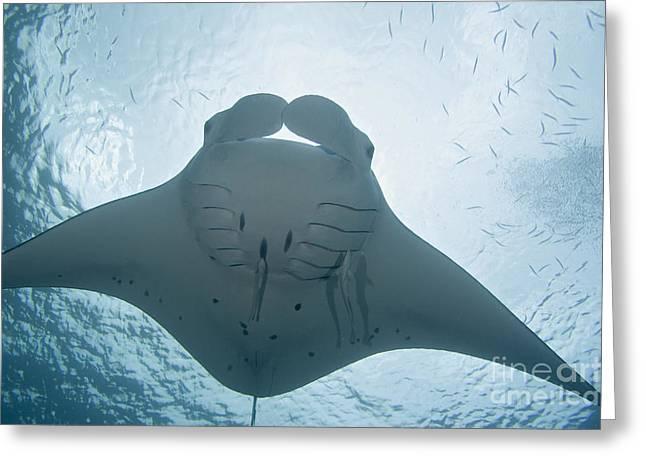 Palau, Manta Ray Greeting Card by Dave Fleetham - Printscapes