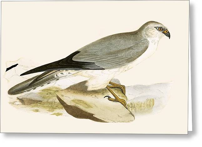 Pale Chested Harrier Greeting Card by English School
