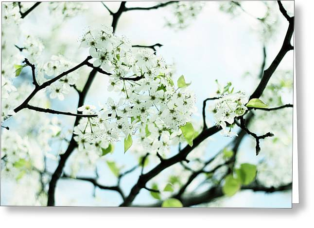 Greeting Card featuring the photograph Pale Pear Blossom by Jessica Jenney