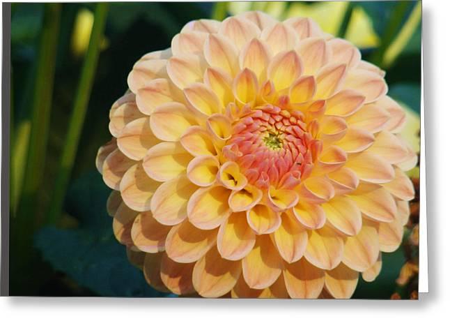 Pale Pink Dahlia Greeting Card by Rhianna Wurman