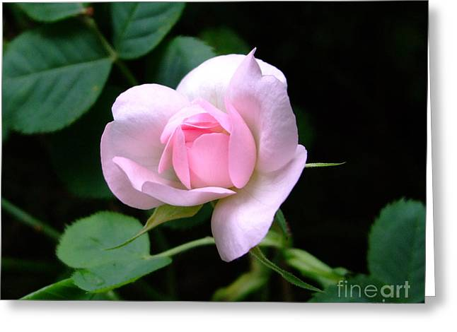 Pale Pink Rose Greeting Card