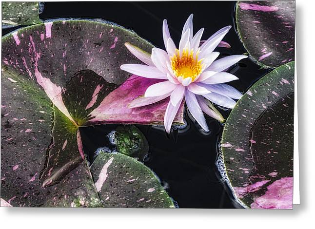 Pale Pink Water Lily Greeting Card