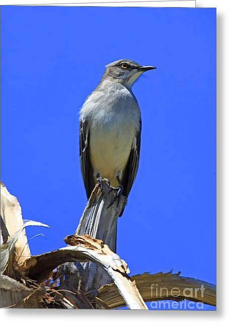 Palm Mocking Bird Greeting Card by Deborah Benoit