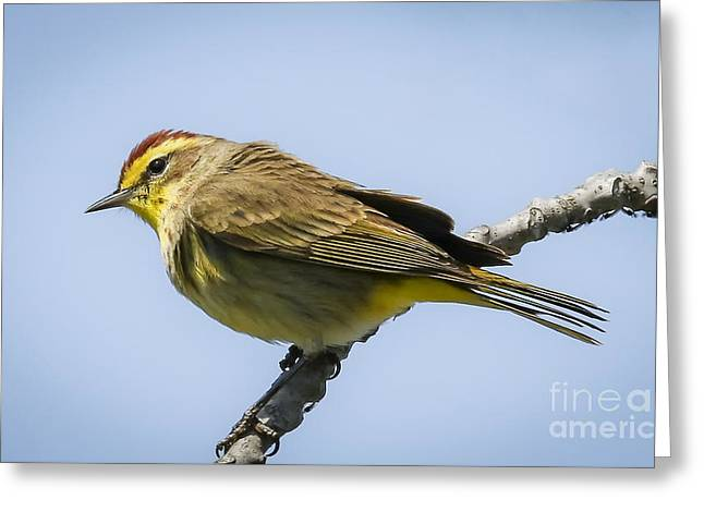 Palm Warbler  Greeting Card by Ricky L Jones