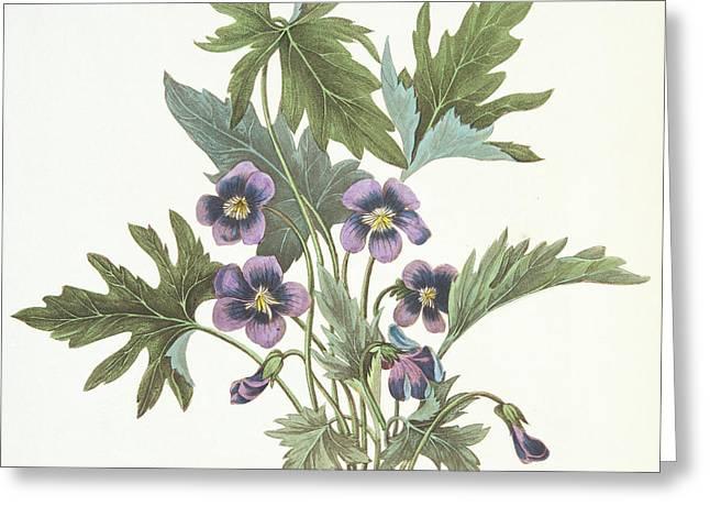 Palmate Leaved Violet Greeting Card